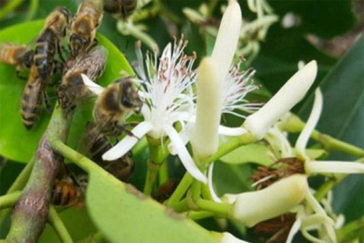 Hình ảnh hoa sú vẹt