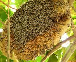 Tổ ong rừng
