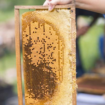 Cầu ong nuôi trên rừng sẽ cho mật ong rừng