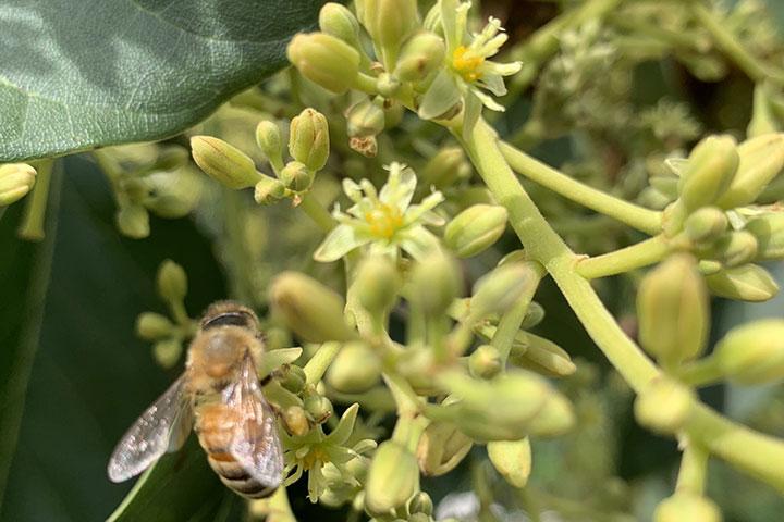 Mật ong ngyên chất- Ong hút mật từ bông hoa cây bơ