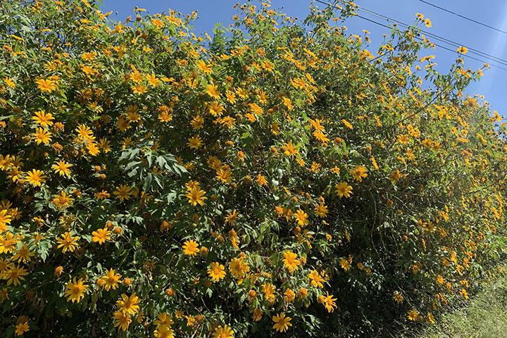 Mật ong nguyên chất - Ong hút mật từ bông hoa dã quỳ
