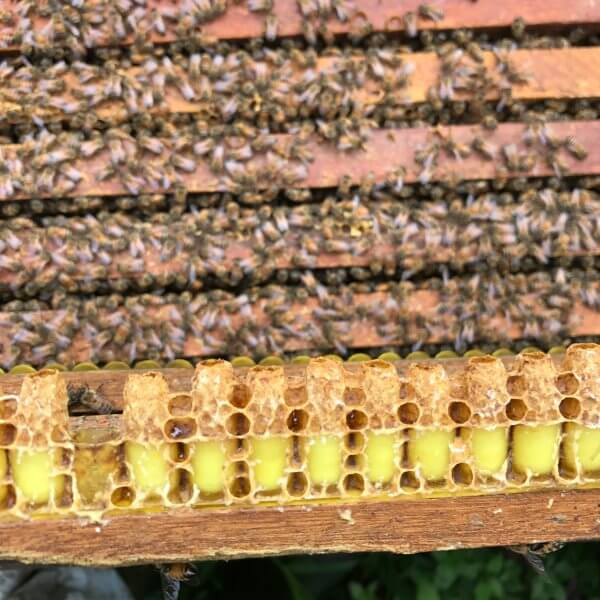 Nuôi sữa ong chúa lấy nguyên chất
