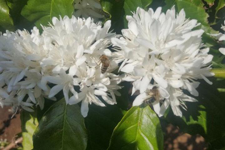 Mật ong nguyên chất - Ong hút mật từ bông hoa cà phê