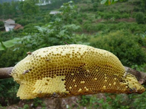 Tổ ong dã sinh