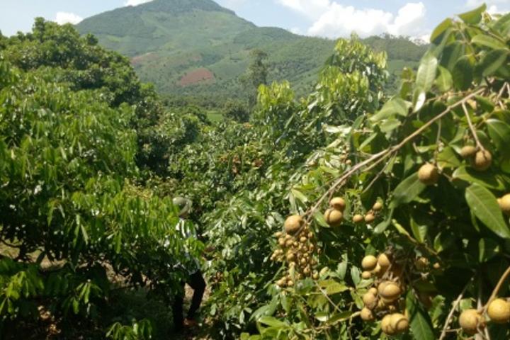 Cánh rừng Nhãn Già, Sông Mã, Sơn La